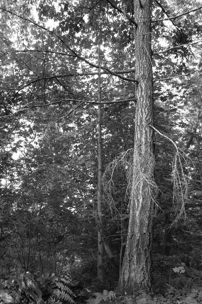 BW-Tall Trees in Forest-Valerie Ellis