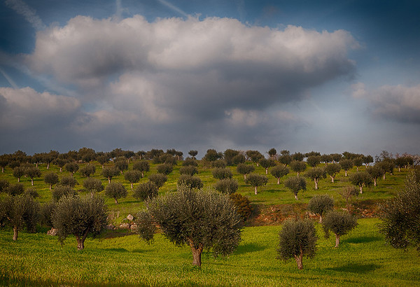 LS-Olive Trees-Barry Singer