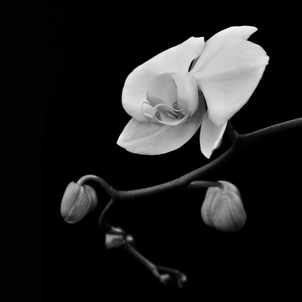 BW-White Orchid-Hans Holtkamp