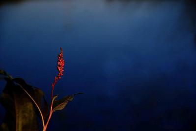 TR-Fire Flower-Helen Brown