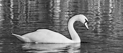 BW-Swan Lake-Cathy Anderson
