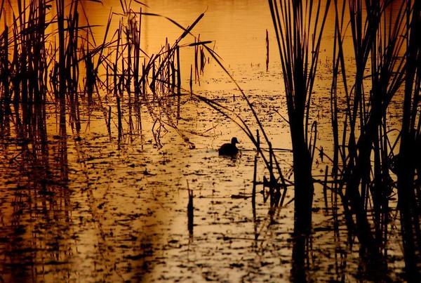 BW-Lonely Little Dusk Duck-Helen Brown