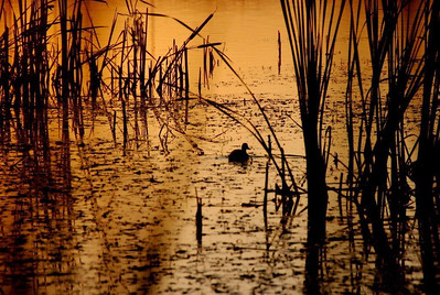BW-Lonely Little Dusk Duck-Helen Brown