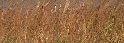 AR-Autumn Reeds-Michael Cuggy