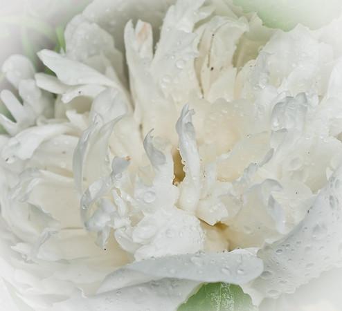 TR-Peony-Kathy Meeres