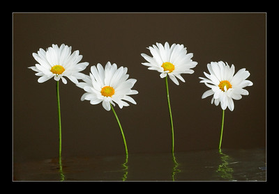 TT-Daisies-May Haga