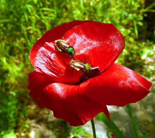 TR-A Poppy With Guests-Gayvin Franson