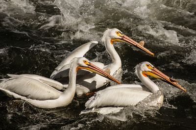 TR-Pelicans-Rhea Preete
