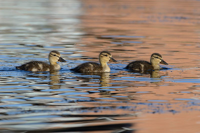 TR-Three Little Ducklings Went for a Swim    -May Haga