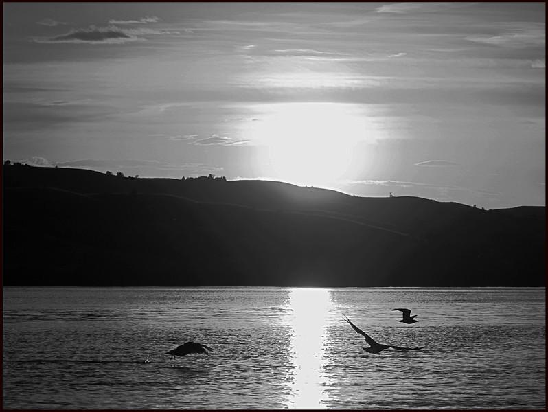 BW-Gulls' Evening Flight-Betty Calvert