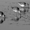 BW-Syncronized Lesser Yellow Legs-Gerald Hammerling