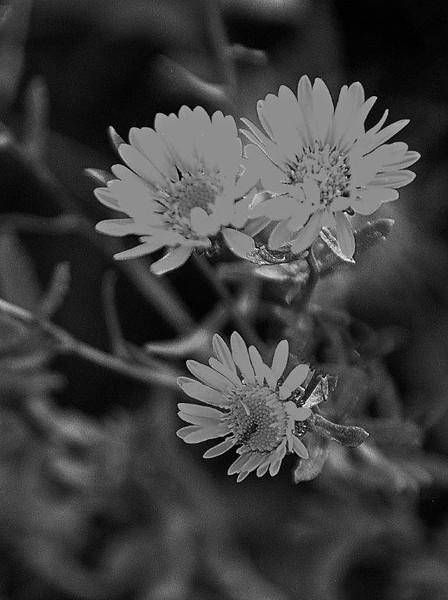 BW-Prairie Petals-Helen Brown