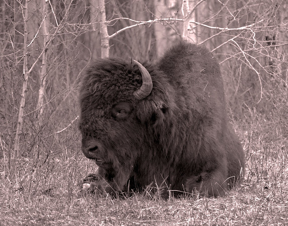 Print-BW-Bison not Buffalo-Bob Anderson