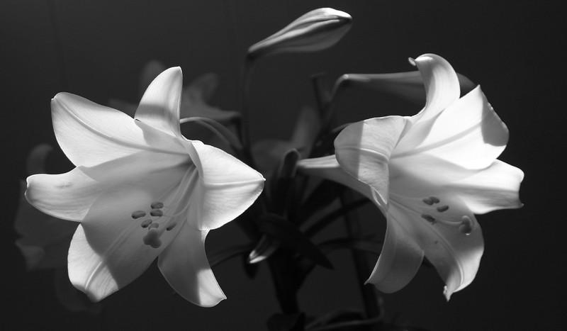 BW-Lilies-Ian Sutherland