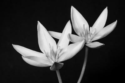 BW-Tulip Duo-May Haga
