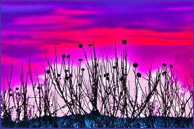 AR-Thistles in Pink Twilight-Betty Calvert