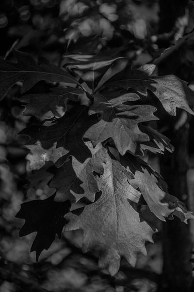 BW-Amber's Oak-Anita Simpkins jpg