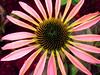 AR-Electric Echinacea-Doris Santha