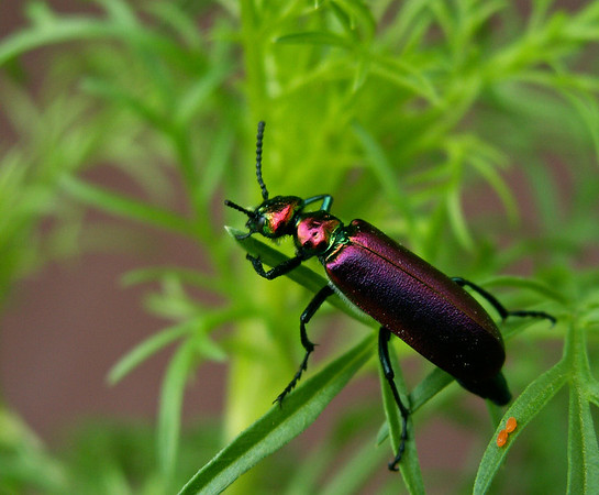 TR-Beetle Beauty-Kathy Meeres