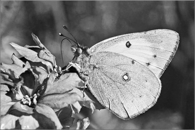 BW-Sulphur Butterfly-Betty Calvert