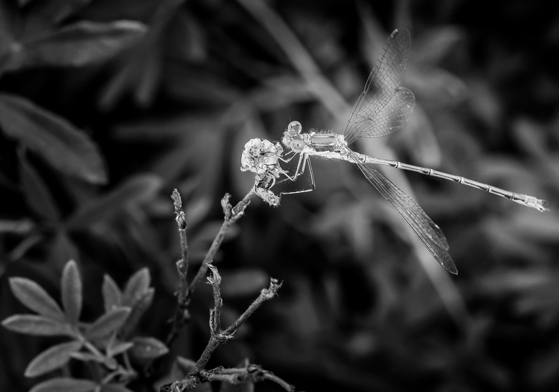 BW-Damsel, not in distress-Bas Hobson
