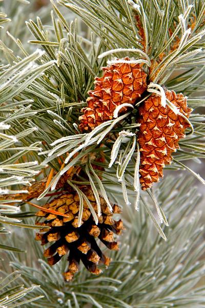 TR-Frosty Cones-Hilda Noton