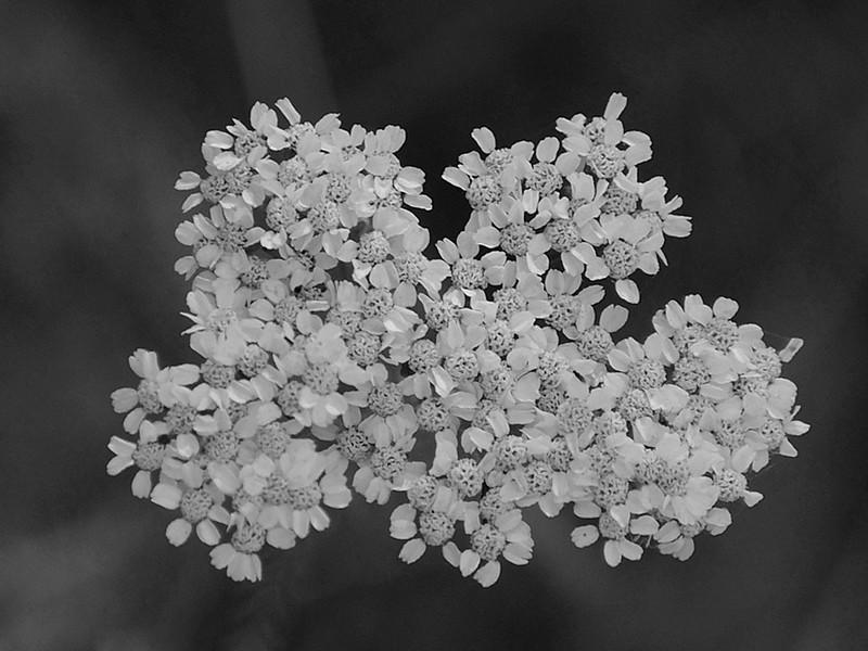 BW-Five Wild Flowers-Ian Sutherland