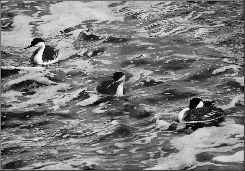 BW-Western Grebes at the Weir-Betty Calvert