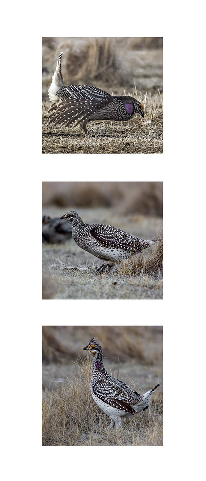 TR-Sharp Tailed Grouse-Rhea Preete