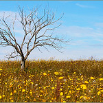 SC-Perennial Sow Thistle and Tree-Betty Calvert