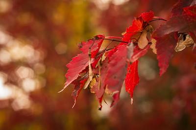 TR-Autumn Rubies-Jodi Becquet