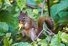 1Print-TR-Squirrel Munch-Dan Mason