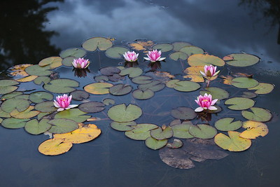 1Print-TR-Water Lily-Tracy Stupak