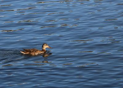 TR-Lone Duck-Norm Buker