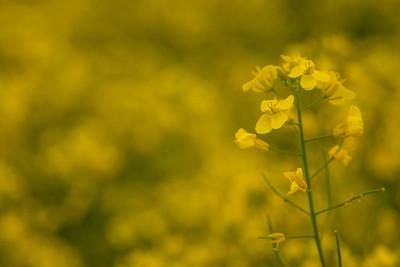 TR-Golden Splendor-Tina Yu