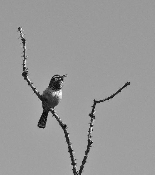 BW-Songbird-Kathy Meeres