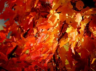 TR-The Maple Leaf Forever-Gordon Sukut