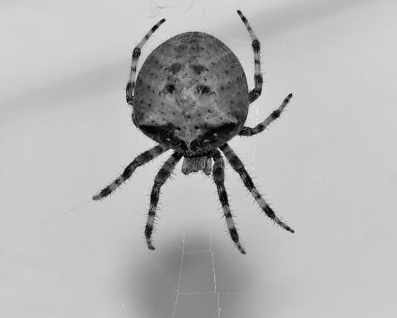 BW-Boris the Spider-Barbara Rackel