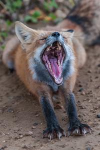 NA-Waskesui Fox-Hans Holtkamp