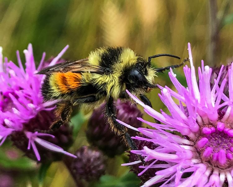 PH-Bee Dazzled-Nina Henry