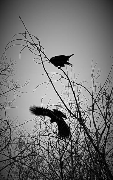 BW-The Birds-Judy Salloum