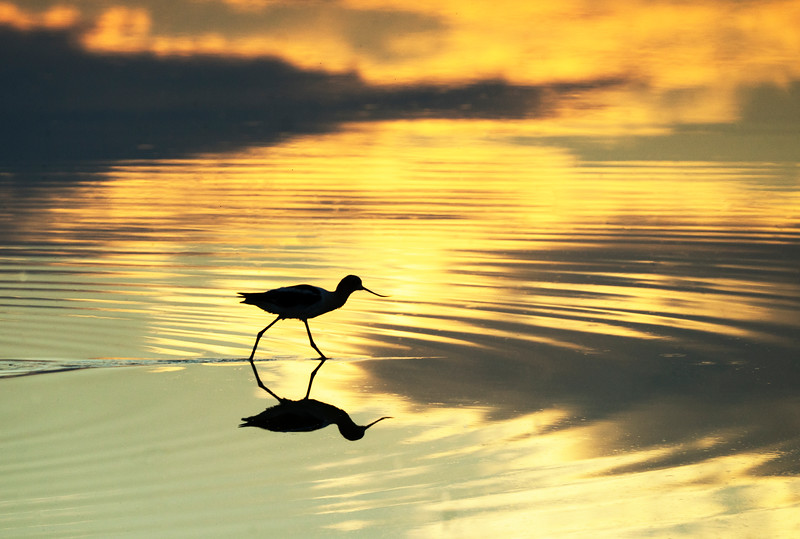 TR-Sunset Avocet-Ron Cooley