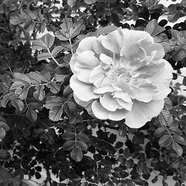 First Flower-Judy Salloum