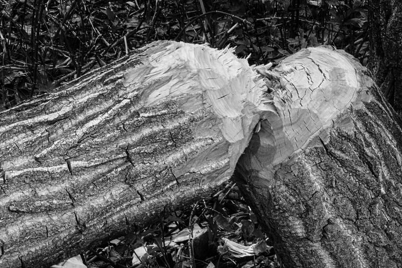 Beaver Bites-Rob Arthur