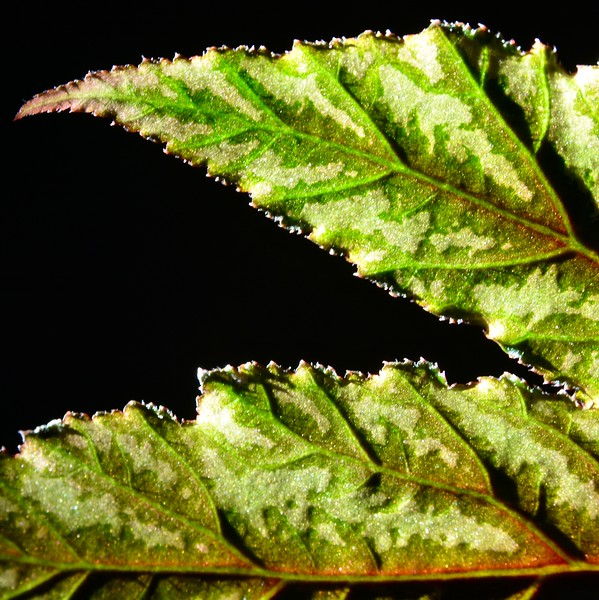 Leaf Relief-Penny Dyck
