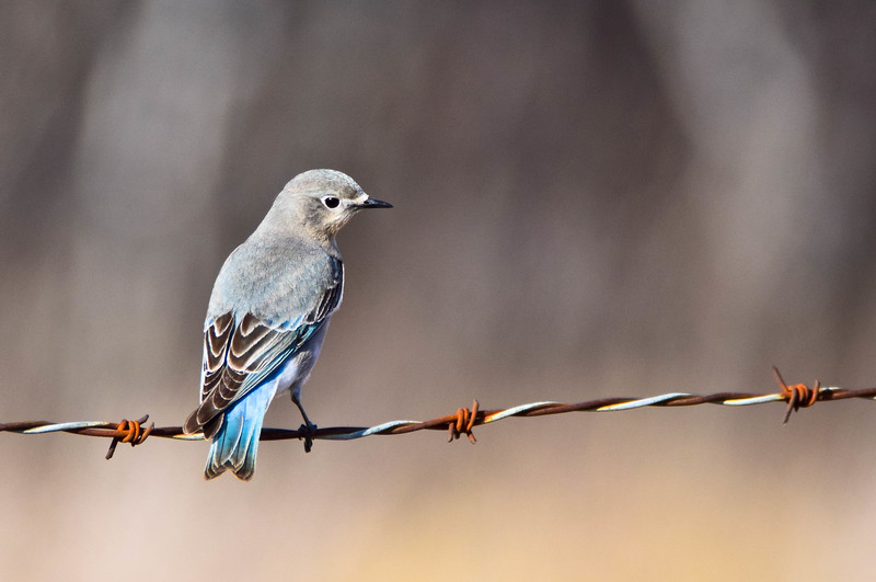 First Bluebird Of Spring-Bob Godwin