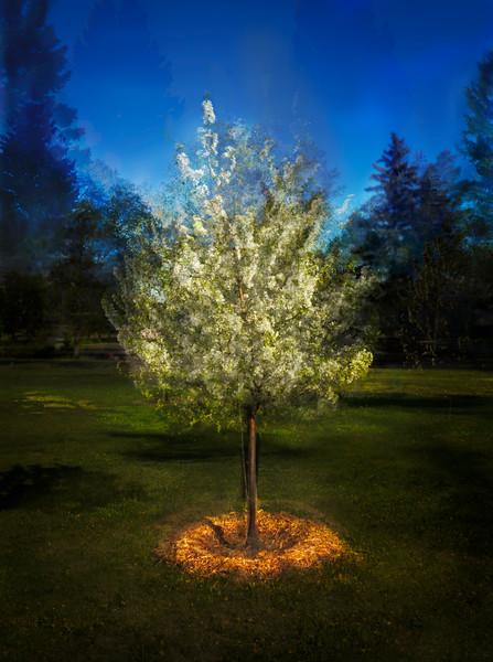 Apple Blossoms-Barry Singer