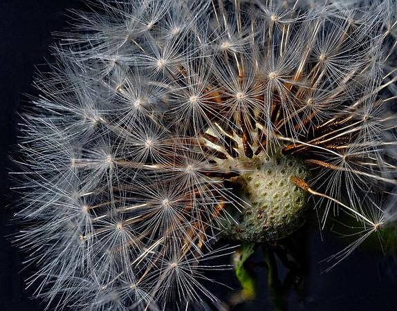 1-NA-Dandelion Seed-Barry Singer