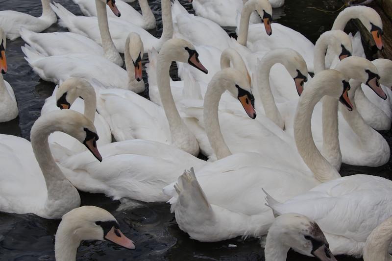 2-TR-Swan Lake-Rob Arthur