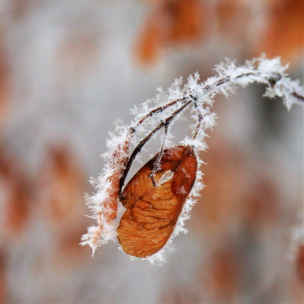 2-Frosted Seed Pod-Cathy Baerg